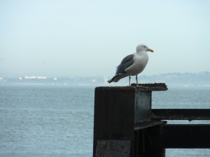 Seagulls at Alcatraz