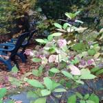 The hydrangea